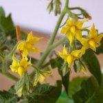 Как при цветении распознать пустоцвет на помидорах