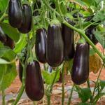 Как правильно выращивать баклажаны?