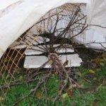 Как правильно снимать укрытие с кустов?