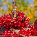 Калина красная: ягода от многих недугов и вкусный десерт