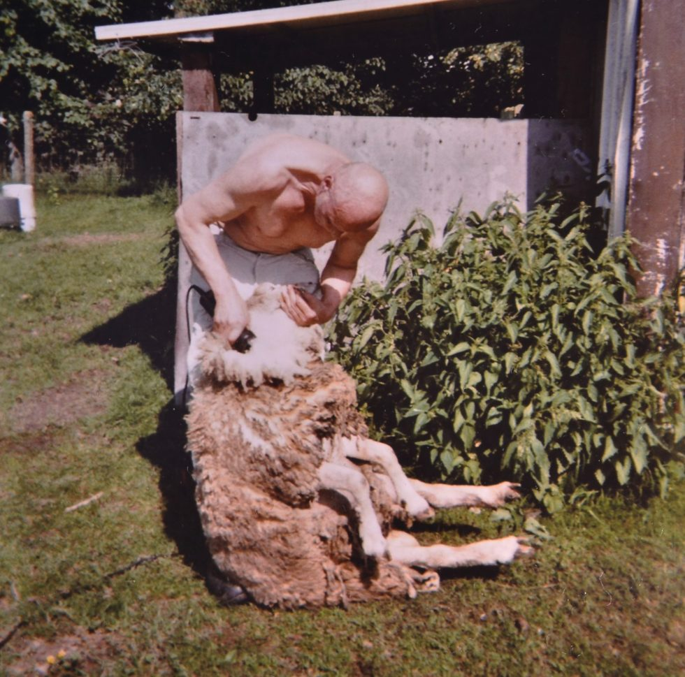 Voilà la tonte du mouton. Dans le passé, je faisais tondais jusqu'à 2000 moutons par année! C'était épuisant. Maintenant j'en fais une centaine et c'est très bien comme ça.