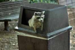 raccoon trash
