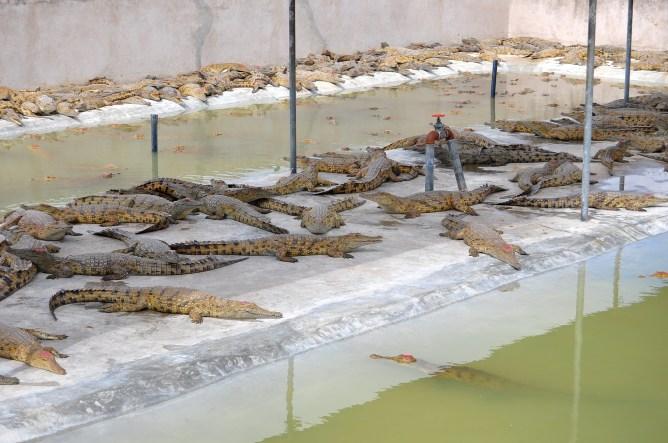 Crocodilos. Este são os que são cuidados para futura venda da pele