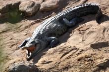 Você sabe por que o crocodilo fica de boca aberta? Para esfriar seu corpo com o vento sem fazer esforços.