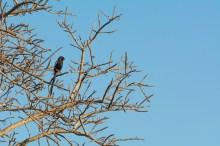 Magpie-Shrike (African Long Tailed Shrike)