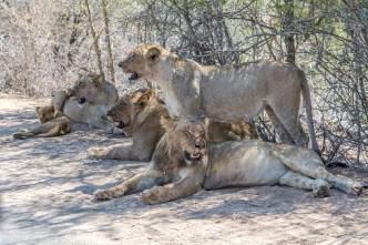 Leões (Lions)