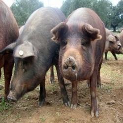 Mes voisins les porcs …
