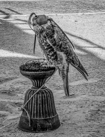 Falcon Souq qatar www.dottedglobe.com