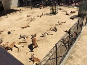 王子動物園のカンガルー