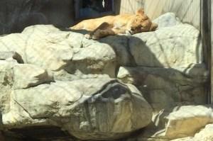 王子動物園のライオン