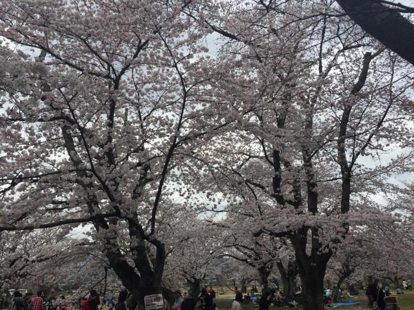 京都嵐山 花見を1ヶ月も楽しめる桜の名所