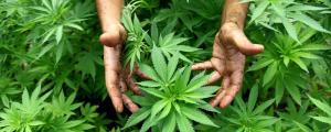 Erba - Cannabis legale