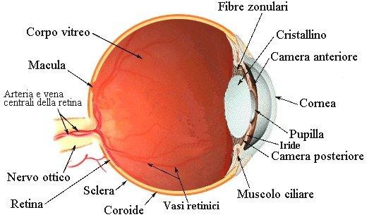 La coroide è una sottile membrana dell'occhio a forma di sfera cava interposta tra la sclera e la retina che avvolge l'occhio.