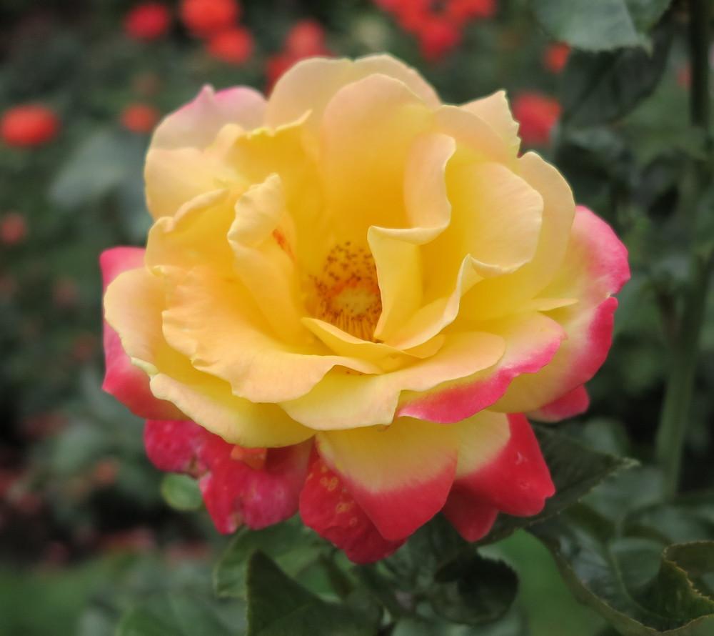 Portland rose DOuble-Barrelled Travel