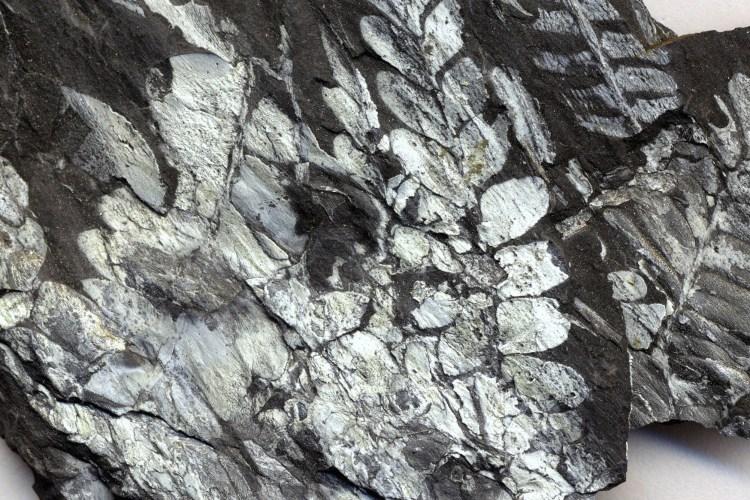Fossilized Fern