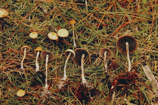 DoubleBlind: A photograph of a selection of psychedelic mushrooms on grass. In this article, Double Blind explores everything you should know about the campaign to decriminalize naturally occurring psychedelics
