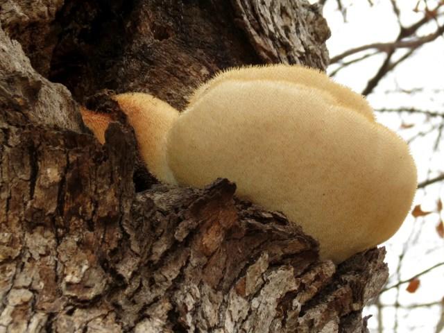 DoubleBlind:Photograph of a medicinal mushroom,