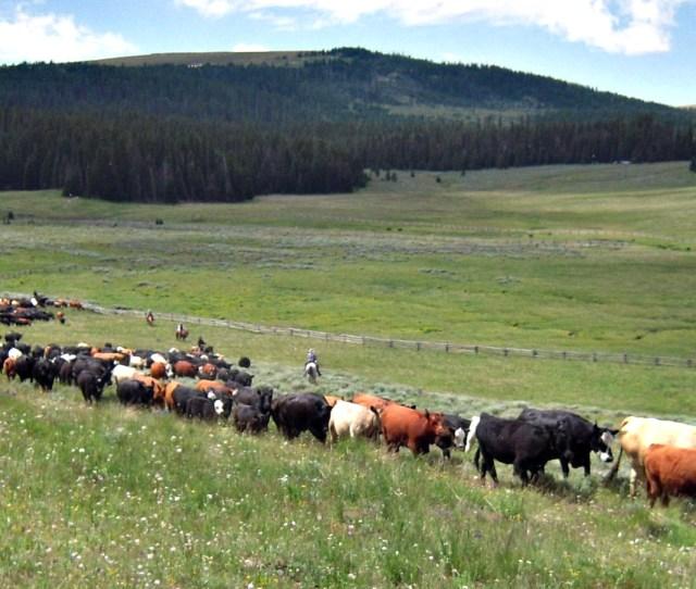 Open Range Cattle Drive