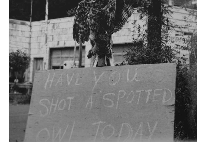 """Black and white photograph of a dead spotted owl above a plywood sign that reads """"have you shot a spotted owl today?)"""