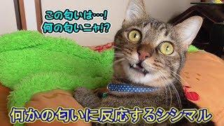 何かの匂いを嗅ぎ取った?猫シシマル(面白い&可愛い猫)