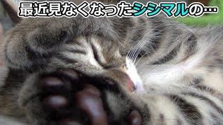 子猫シシマル、未公開映像(面白い&可愛い猫)