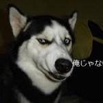 「おもしろ犬」誰がやったの?イタズラがバレて言い訳するハスキー