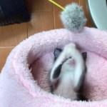 ピンクのベッドで遊ぶ子猫ひまわりがかわいい
