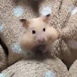 ハフハフしながらクロワッサンを食べるハムスター!おもしろ可愛いハムスターFunny hamster that eats croissants!