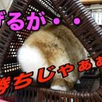 【おもしろぺットうさぎ】ウサギの部屋んぽはハプニングの連続!?