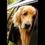 おもしろゴールデンレトリバー・飼い主に騙された犬の反応が超かわいい
