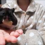 手乗りハムスターが可愛い!おもしろ可愛いハムスターHand riding Funny hamster is cute!
