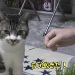 可愛い声でおねだり必死だったはずが忘れちゃう猫☆リキちゃんはやっぱりおねだり上手だった!☆猫草・鰹節を美味しそうに食べる猫【リキちゃんねる 猫動画】Cat videos キジトラ猫との暮らし