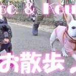 こうめさんとココのお散歩♪フレブルはやっぱり可愛い!