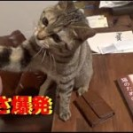 ハイタッチを覚えようと頑張る子猫さん [子猫][保護猫][可愛い][癒し]