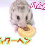 ハムスター用バームクーヘン!食べる姿がまじでかわいい!!