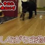 警戒しながら宝物を運んでいく黒猫ビター(面白い&可愛い猫)