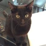 チュパチュパしたくて我慢できない子猫。すごい要求鳴き。