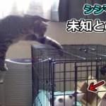 未公開映像、猫シシマルとチビフク姫(面白い&可愛い猫)
