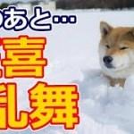 【海外の反応】衝撃!柴犬が雪を見つけると・・こんな可愛いことになりました!外国人「柴犬のなにが素晴らしいって柴犬は最高ってことだよね!」