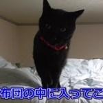 寝る間際、ソワソワし出した黒猫ビター(面白い&可愛い猫)