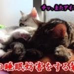 猫ズのお昼寝を妨害してくるもの…(面白い&可愛い猫)