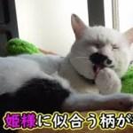 猫フク姫、お姫様の新しい首輪の柄は…(面白い&可愛い猫)