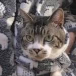 パパのパジャマに潜り込む猫がかわいい♥甘えん坊猫リキちゃんが突然飛び出して行った先は?【リキちゃんねる 猫動画】Cat video キジトラ猫との暮らし