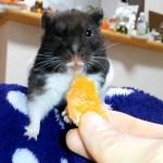 みかんを食べるハムスターの舌ペロが可愛い!おもしろ可愛いハムスターFunny amsters stick he's tongue out are cute