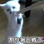 子猫フク姫、未公開映像【No.6】(面白い&可愛い猫)