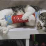 抱きちゅーるを抱っこするリキちゃんが超かわいい☆おまけでもらった『抱きちゅーる』を使ってみよう☆猫のおもちゃ☆【リキちゃんねる 猫動画】Cat video キジトラ猫との暮らし