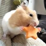お星さまの詰め込み方が雑なハムスター!おもしろ可愛い癒しハムスターFunny Hamster stuffs the stars roughly in the cheek pouch!