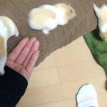 懐くとこうなる!飼い主を使ってはしゃぎまくるおもしろ可愛い癒しハムスターFunny Hamster playing with owner!