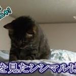 猫シシマル、やる気スイッチの持続力は…(面白い&可愛い猫)