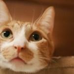 まやの睡魔と戦う猫顔がかわいい【瀬戸のまや日記】Sleepy cat Maya looks so cute!Cats room Miaou